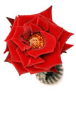Rose on white. Red rose isolated on white back drop from a top view Stock Photography