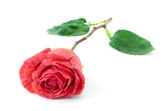 Rose on white Stock Photo