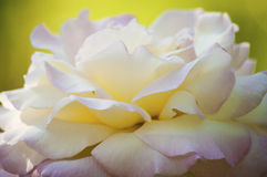 rose white Obraz Royalty Free