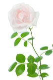 Rose on white. Royalty Free Stock Images
