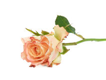 Rose on white Stock Images