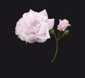 rose white Obrazy Stock