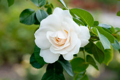 rose white Fotografia Royalty Free
