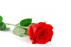Rose on white. Beautiful red rose on the white background stock photography