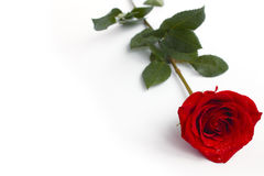 Rose on white. Single rose with water drops Stock Photography