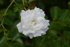 rose white Zdjęcia Royalty Free