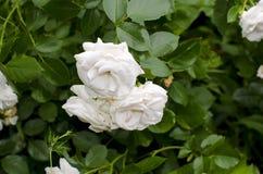 rose white Obrazy Royalty Free
