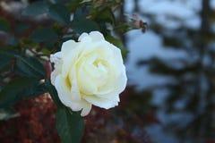 rose white zdjęcie royalty free