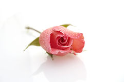 Rose on white background Royalty Free Stock Image