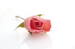 Rose on white background. Valetines Rose Royalty Free Stock Image