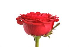 Rose on a white background.  Royalty Free Stock Images