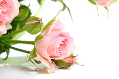 Rose on white background Royalty Free Stock Photography