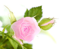 Rose on white background Stock Image