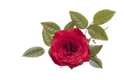 Rose  . Royalty Free Stock Photography