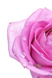 Rose on white background - close-up Stock Images