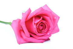 Rose on white background - close-up Royalty Free Stock Images