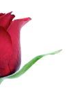 Rose on white background - close-up Stock Photo