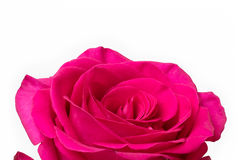 Rose White Background cor-de-rosa grande Fotos de Stock Royalty Free