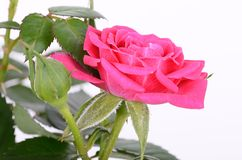 Rose on a white background Stock Image