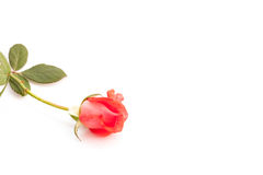 Rose on white background. Royalty Free Stock Images
