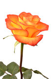Rose. On white background yellow raspberry color Stock Photography