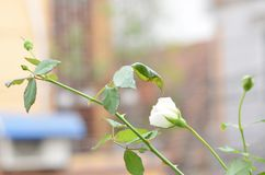 Rose white blooming in autumn which is showy and ornamental adding a to the garden landscape. royalty free stock photos