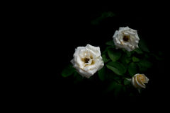 Rose. White rose closer, black background royalty free stock image