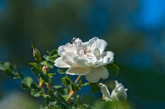 Rose white flower bush. Delicate flowers of white roses on the branches of a bush on the blurry background in sunny day Royalty Free Stock Images