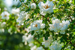 Rose white flower bush. Delicate flowers of white roses on the branches of a bush on the blurry background in sunny day Royalty Free Stock Image