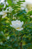 Rose white flower bush. Delicate flowers of white roses on the branches of a bush on the blurry background in sunny day Stock Image