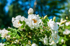 Rose white flower bush. Delicate flowers of white roses on the branches of a bush on the blurry background in sunny day Stock Images