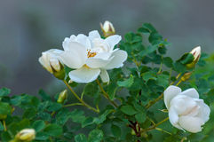 Rose white flower bush. Delicate flowers of white roses on the branches of a bush on the blurry background in sunny day Royalty Free Stock Photos