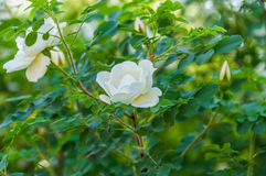 Rose white flower bush. Delicate flowers of white roses on the branches of a bush on the blurry background in sunny day Royalty Free Stock Photo