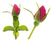 Rose on white Royalty Free Stock Photos