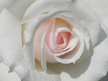 Rose. A white rose is a sign of purity royalty free stock photos