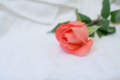 Rose on white towel Stock Image