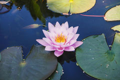 A rose-white water lily in blue water Stock Images