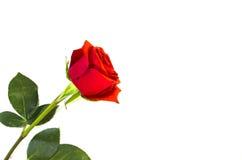 rose więdnięcie Zdjęcie Stock