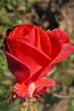 rose świeże Zdjęcie Stock