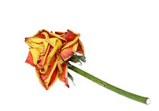 rose. wiele rzeczy Zdjęcie Stock