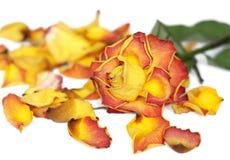 rose. wiele rzeczy Obraz Stock