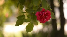 Rose on a wind Stock Photography