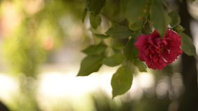 Rose on a wind Royalty Free Stock Images