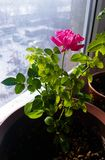 Rose on the window photo. Beautiful rose. At the pot royalty free stock image