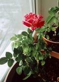 Rose on the window photo. Beautiful rose. At the pot stock photos