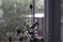 Rose on the window photo Stock Photos