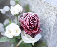 Rose in Winter royalty free stock image