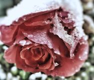 Rose in winter royalty free stock images