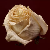 The rose withered Stock Images