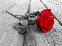 Rose On Wood BW. Red rose on wood floow - black and white Stock Image